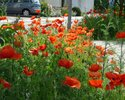 Red poppies in the Frankfurter Strasse (1st year)