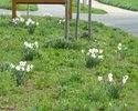 Narcissuses in the Bahnstrasse (2nd year)