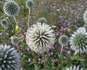 Glandular globe thistle in the second year