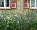 Viper´s bugloss, dyer´s chamomile and common chicory in the Fischergasse (3rd year)